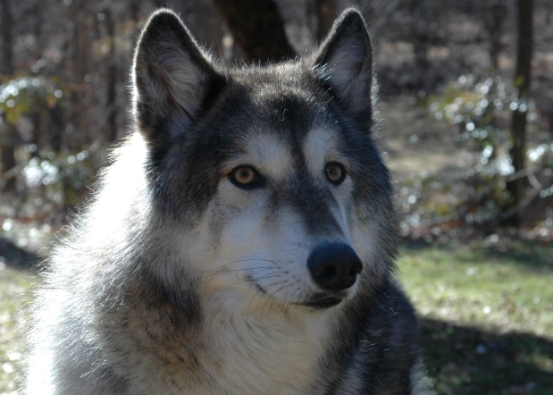 Jacoba, the Wolf